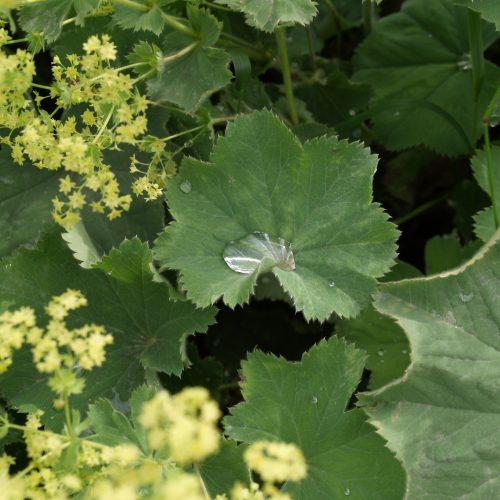 Le jardin de Gribouille - alchémille