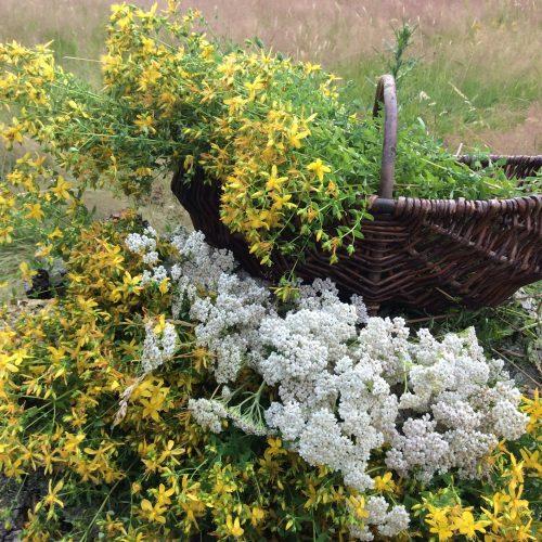 Le jardin de Gribouille - Millepertuis et achillée millefeuille