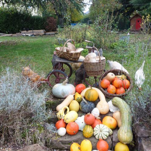 Le jardin de Gribouille - récolte de cucurbitacés